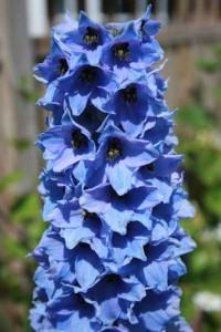 delphinium colore blu