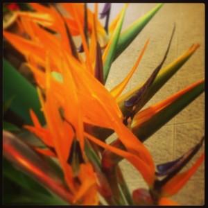 Sterlitzia arancione