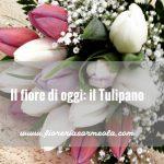Il fiore di oggi: il Tulipano