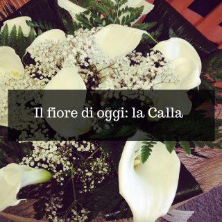 Il fiore di oggi_ la Calla