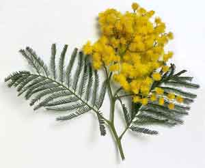 giallo della mimosa