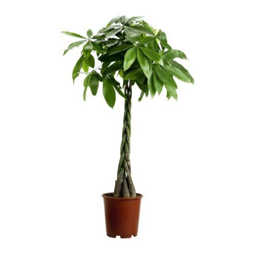 La pianta di pachira come conservala in appartamento - Pachira pianta ...