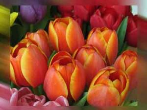 tulipani colorati per San Faustino