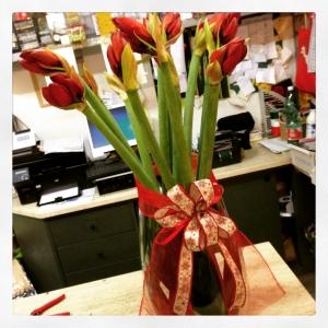 amaryllis rossi