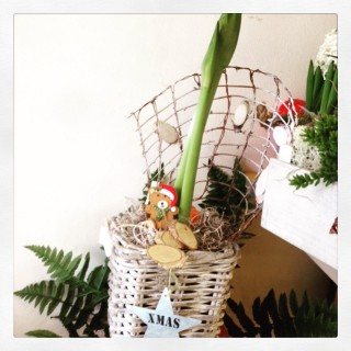 fiore di Amaryllis in bulbo