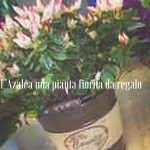 L'Azalea una pianta fiorita da regalo