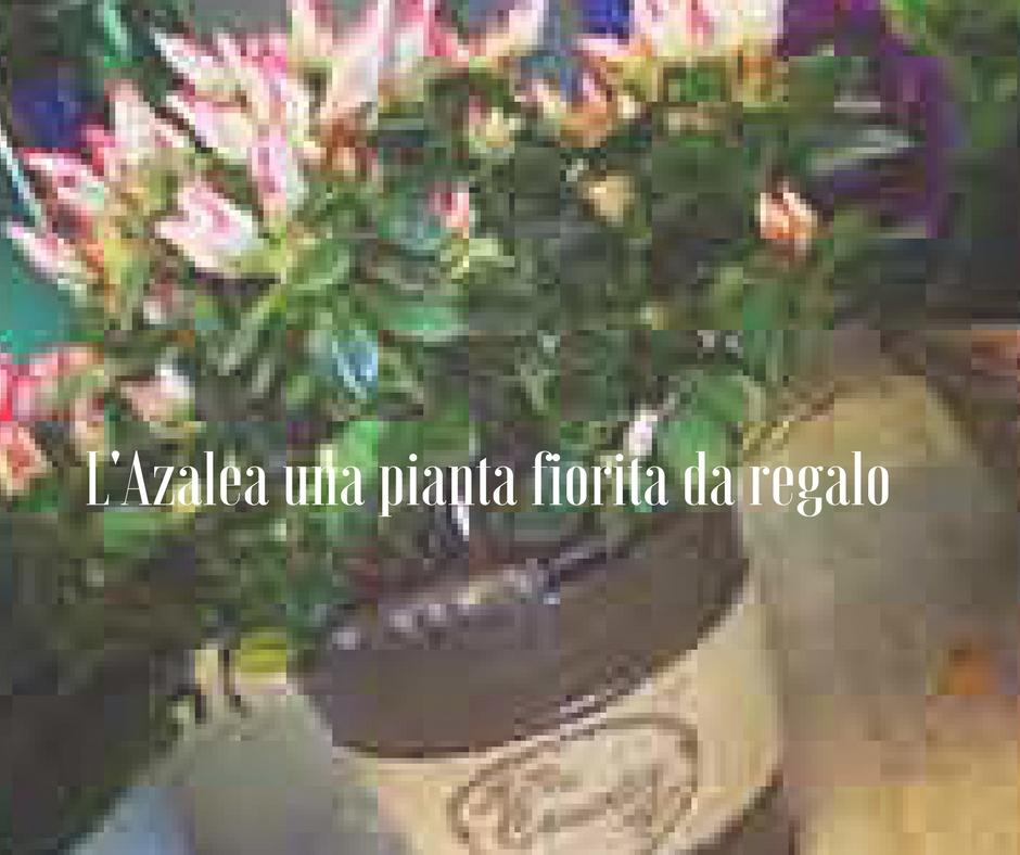 L 39 azalea una pianta fiorita da regalo - Azalea da interno ...