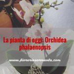 La pianta di oggi: Orchidea phalaenopsis