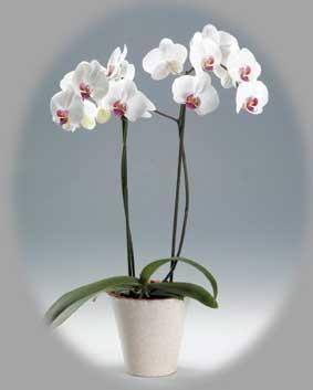 La pianta di oggi orchidea phalaenopsis for Cura orchidee in vaso