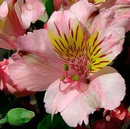 fiore alstroemeria