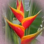 L'Heliconia è il fiore di oggi
