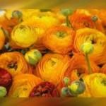 Il fiore del giorno: il Ranuncolo e il suo significato