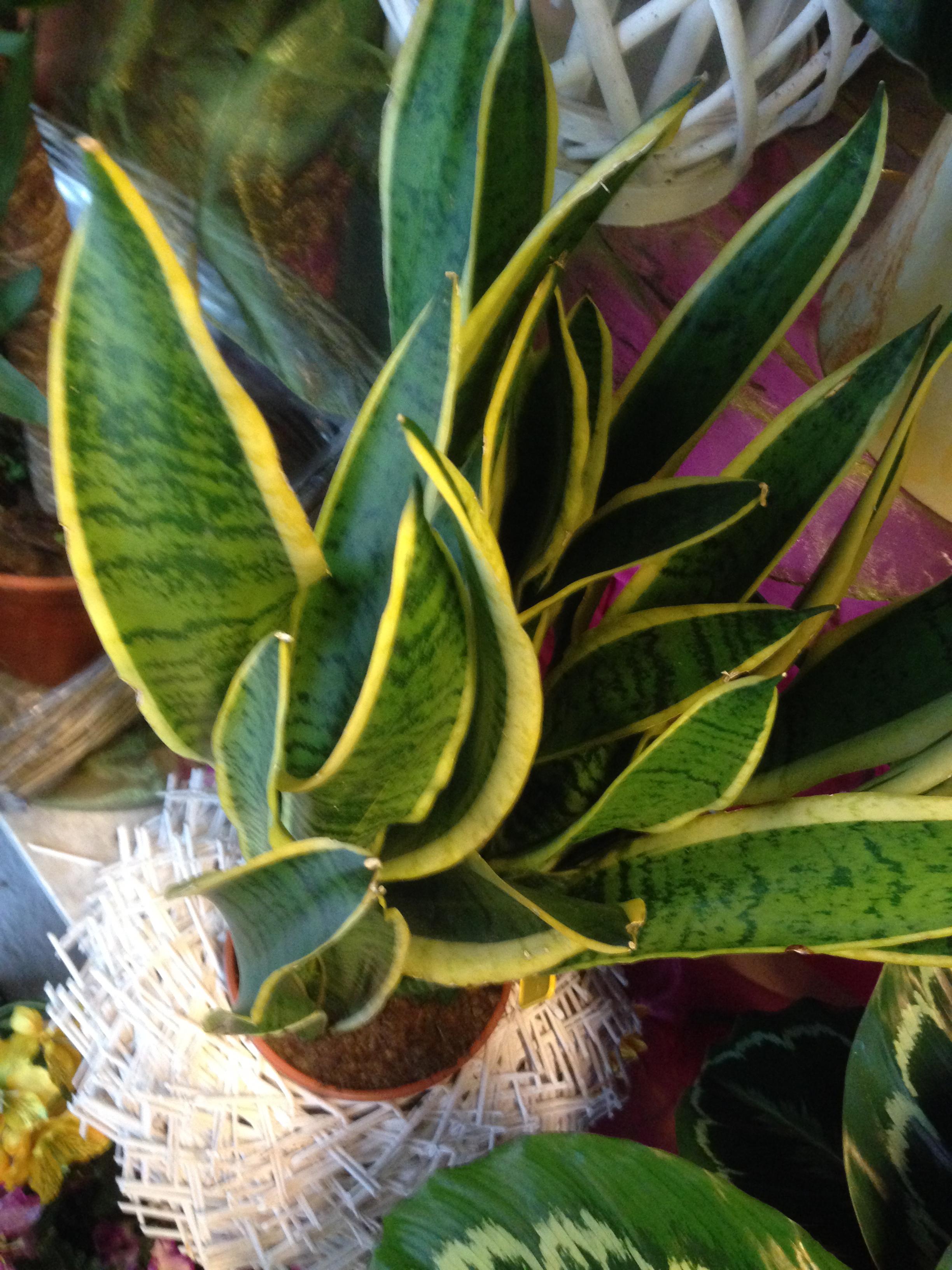 La pianta di oggi la sanseveria for Tutte le piante grasse