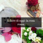 La rosa rossa, la regina dei fiori.