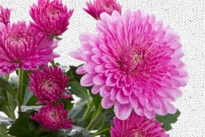 Simbologia del Crisantemo