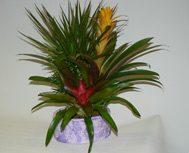 La pianta di oggi: la Guzmania