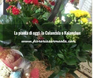 La pianta di oggi_ la Calancola o Kalanchoe