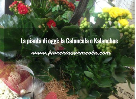La pianta di oggi: la Calancola o Kalanchoe