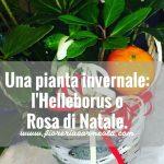 Una pianta invernale: l'Helleborus o Rosa di Natale.