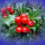 L'agrifoglio, pianta natalizia.