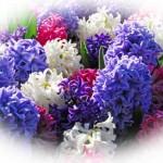 Il fiore di oggi: il Giacinto