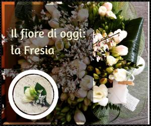 il fiore di oggi la fresia