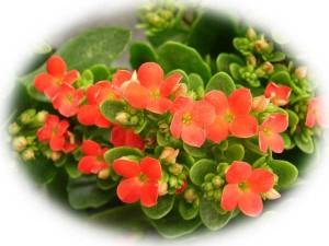La Kalanchoe è una pianta tipica del Madagascar molto diffusa nel nostro paese, perfetta per un appartamento piccolino o per abbellire un angolo della cucina.