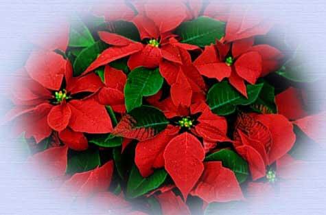 Natale e il linguaggio dei fiori