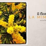 Il fiore di oggi: la Mimosa