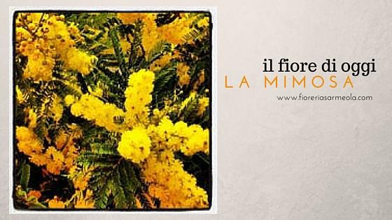 il fiore di oggi_ la mimosa