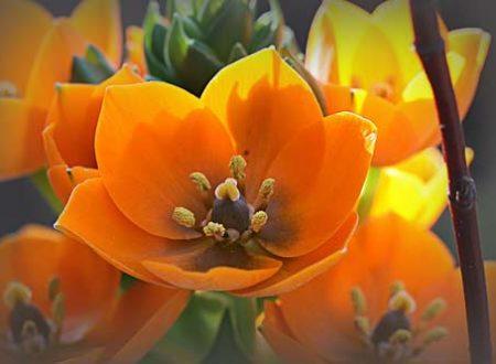 Il fiore di oggi l'ornitogallo