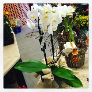 orchidea a Natale con vaso lanterna di cera