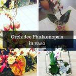 Orchidee Phalaenopsis in vaso