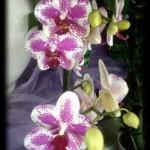 Il colore del 2014: il Radiant Orchid