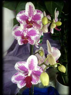 phalaenopsis orchidea rosa