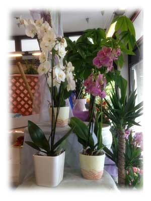 orchidea fioreria sarmeola