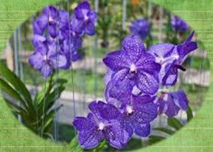 La Vanda orchidea