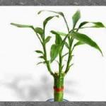 Il Bambù significato e curiosità