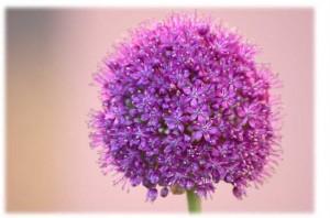 fiore aglio