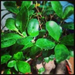 Il ficus bonsai