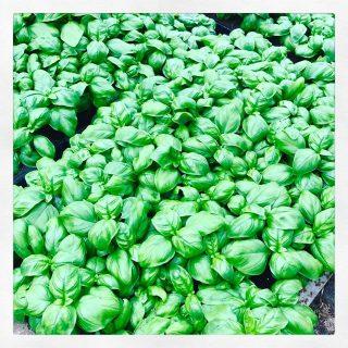 Basilico genovese, piccole piante aromatiche