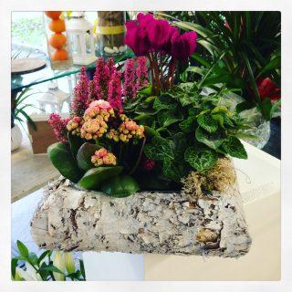 composizione con erica e ciclamino, piante da terrazzo