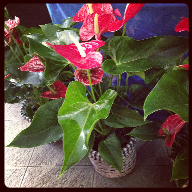 Anthurium Cura Della Pianta la pianta di oggi: l'anthurium