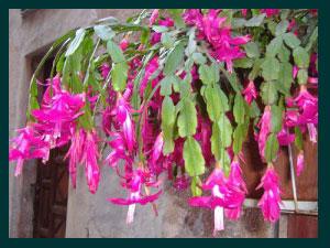 cactus natale