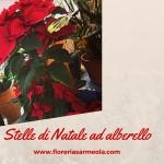 Stelle di Natale ad alberello