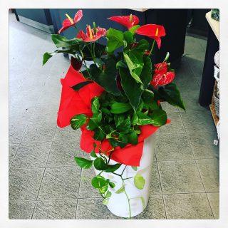 Composizione con piante di Anthurium rosso e potus su vaso bianco per una Cresima