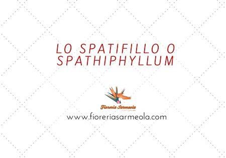 Lo Spatifillo o Spathiphyllum