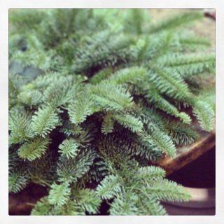 il pino, la materia prima necessaria per realizzare corone dell'avvento
