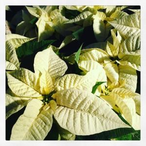 Poinsettia o Stelle di Natale