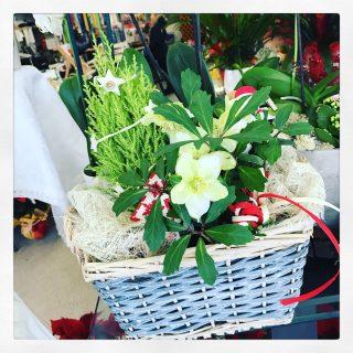 Elleboro e pino in cesto natalizio